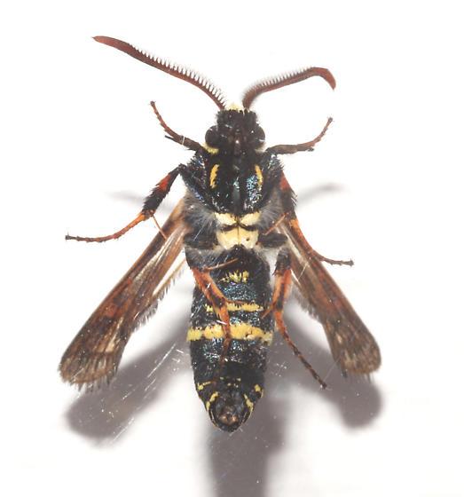 Sesiidae, Dusky Clearwing, ventral - Paranthrene tabaniformis