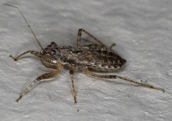 Assassin Bug - Hoplistoscelis