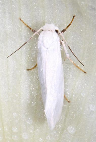 Yucca Moth