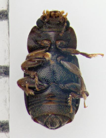 Nitidulidae, ventral - Carpophilus brachypterus