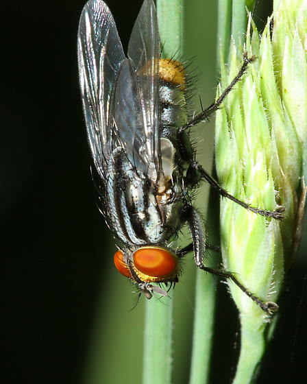 Flesh Fly - Oxysarcodexia - male