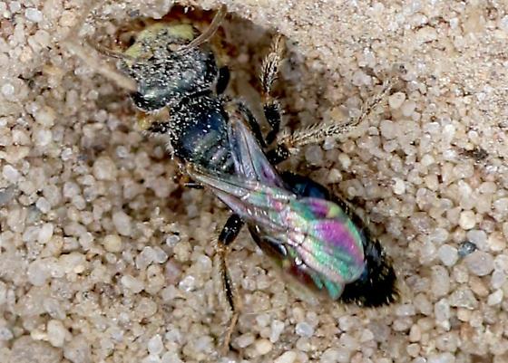 wasp - Perdita halictoides