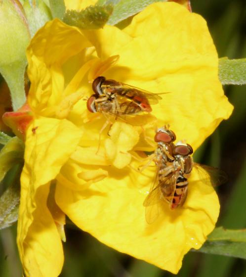 Syrphidae - Toxomerus marginatus - male - female