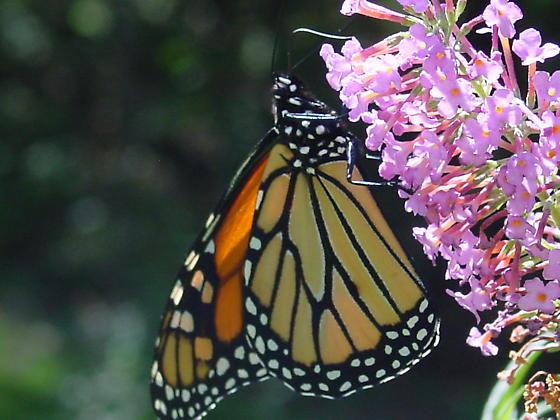 Monarch butterfly on butterfly bush - Danaus plexippus - male