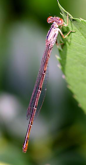 Brown damselfly - Telebasis byersi - female
