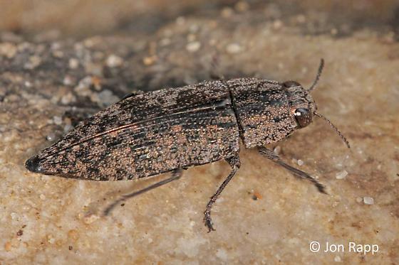 Metallic Wood-boring Beetle - Dicerca obscura