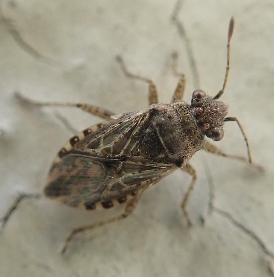 Something in Rhopalinae?  - Arhyssus scutatus