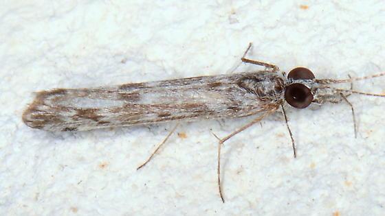 Please kindly identify this guy. - Marilia flexuosa
