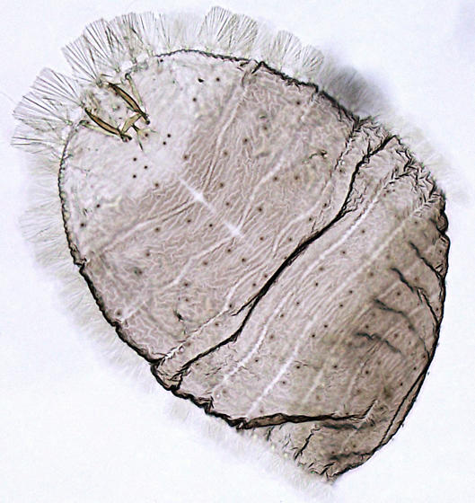 Corylophidae larva