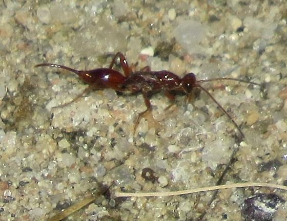 Proctotrupid - Proctotrupes caudatus - female