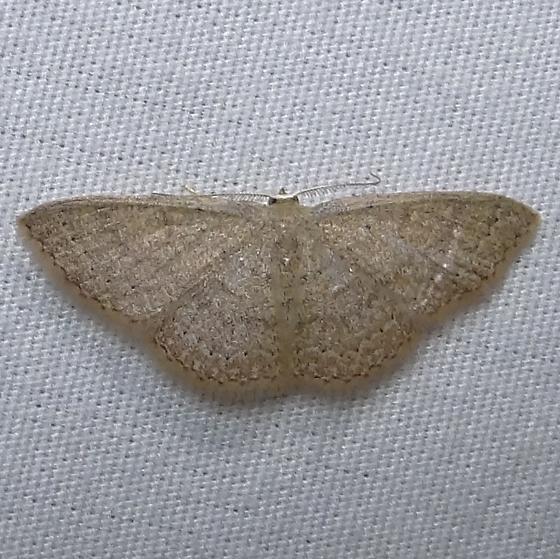 Common Tan Wave - Hodges#7132 (Pleuroprucha insulsaria) ? - Pleuroprucha insulsaria