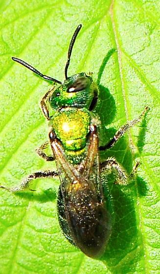 Halictidae - Sweat Bees - Augochlora pura