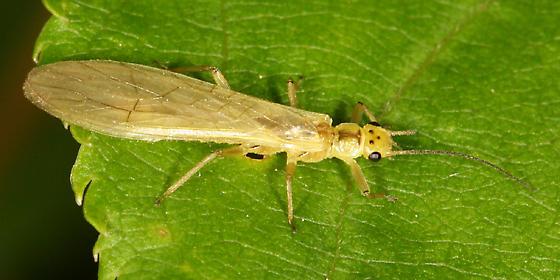 Stonefly - Sweltsa onkos