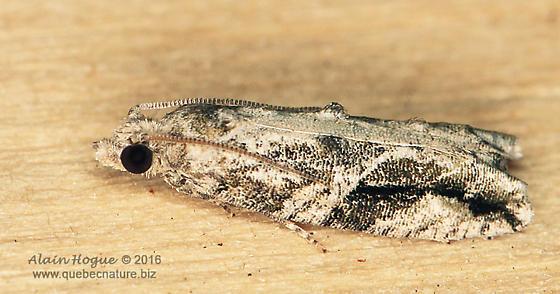 Moth - Proteoteras crescentana