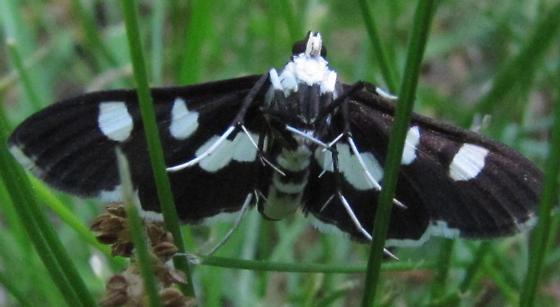 What moth please - Desmia maculalis