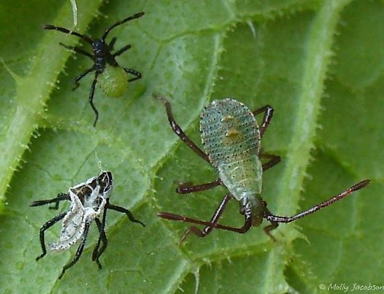 squash bug life cycle 2 - Anasa tristis
