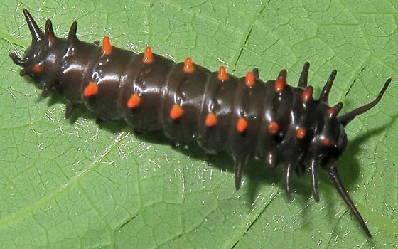 Pipevine Swallowtail caterpillar - Battus philenor