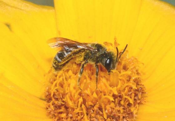 Bee on Coriopsis - Halictus poeyi