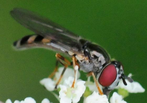 Syrphidae Flies Genus Platycheirus - Platycheirus hyperboreus - female