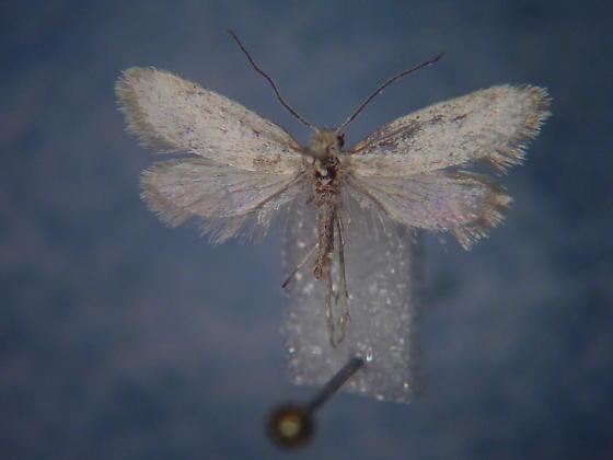 Greya powelli - male