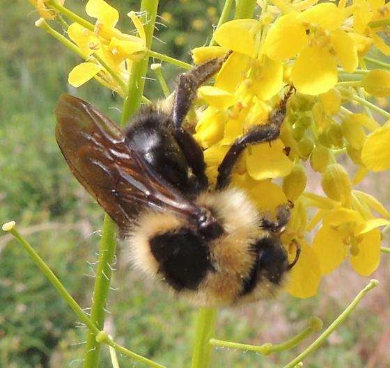 unknown Bumble Bee - Bombus insularis - female