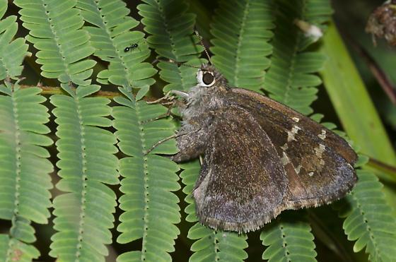 Outis Skipper ovipositing - Cogia outis - female