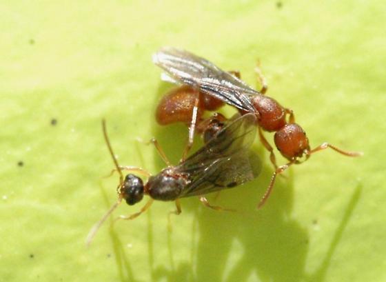 proceratium chickasaw- male and female - Proceratium chickasaw