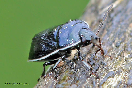 Beetle / Bug ? - Sehirus cinctus