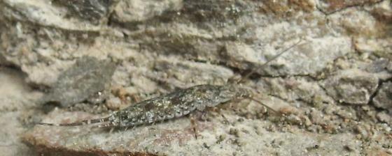 Bristle tail - Petridiobius arcticus