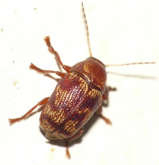 Leaf Beetle - Cryptocephalus tinctus