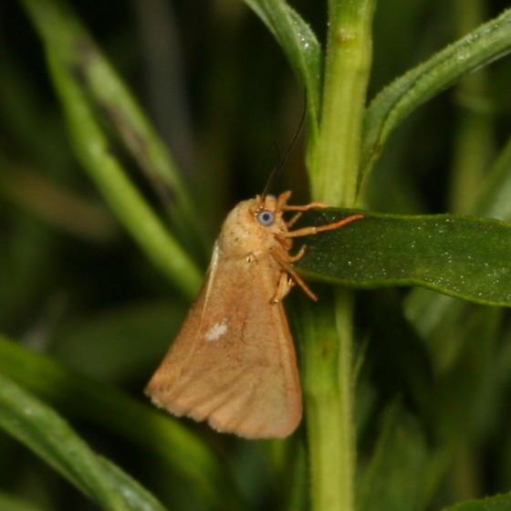 moth - Virbia fragilis