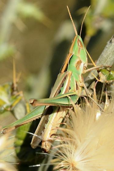Grasshopper - Syrbula montezuma - female