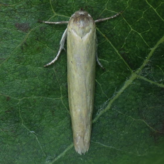 A Micro Moth - Holcocera immaculella