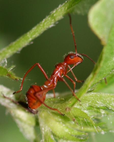 Hyalymenus tarsatus - Texas Bow-legged Bug Nymph? - Hyalymenus tarsatus