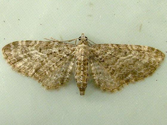 Eupithecia subfuscata - Grey Pug 7487 - Eupithecia subfuscata