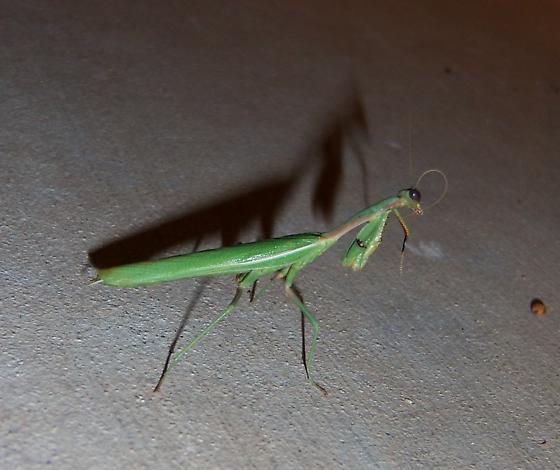 Mantis - Iris oratoria - male