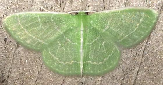 Geometrinae - Synchlora aerata