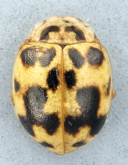 Psyllobora vigintimaculata  - Psyllobora vigintimaculata