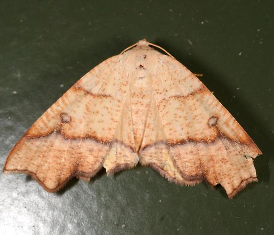 Plagodis alcoolaria - female