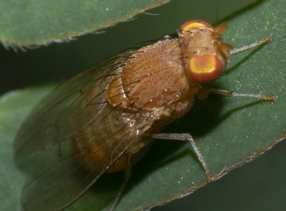 Species ID - Poecilominettia