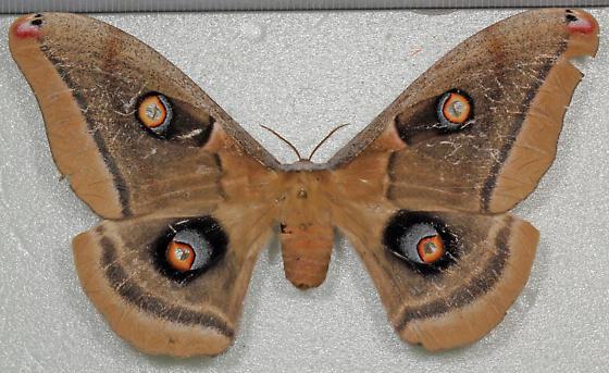 Saturniidae - Antheraea oculea - female