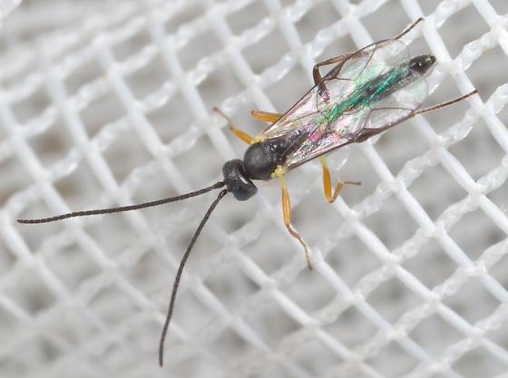 Ichneumon Wasp - male