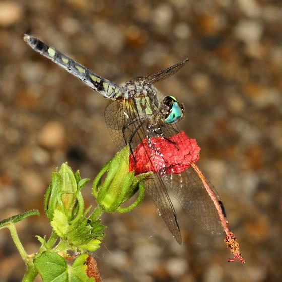 Dragonfly - Micrathyria hagenii - female