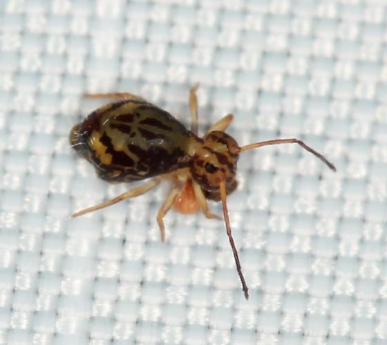 globular springtail #2928 - Ptenothrix beta