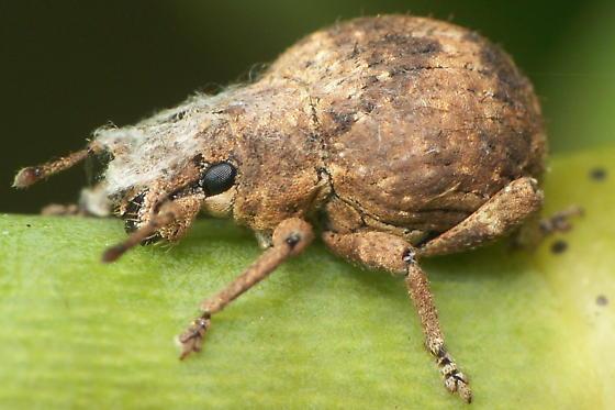 Broadnose Weevil With Fungus - Pseudocneorhinus bifasciatus