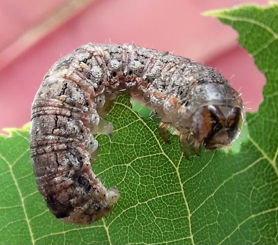 Noctuidae: Unknown Specimen - Peridroma saucia