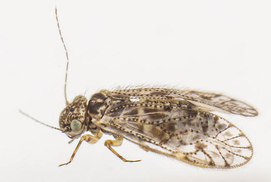 Psocid - Aaroniella badonneli