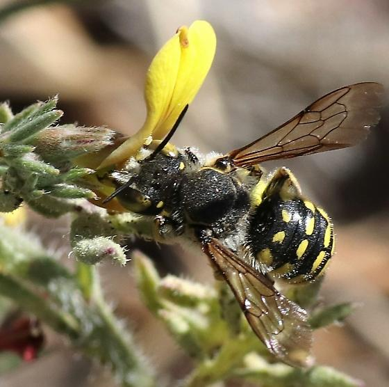wasp ? - Anthidium