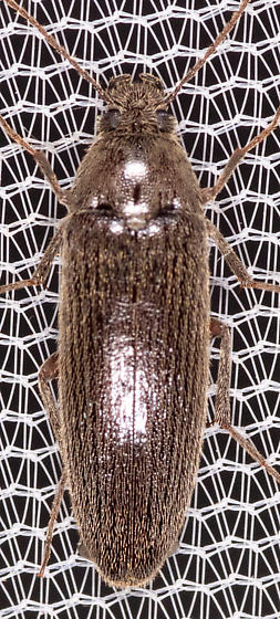 Beetle for iD - Synchroa punctata