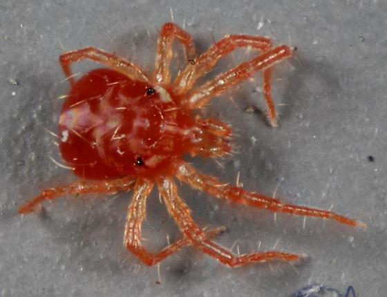 red spider mite - Anystis